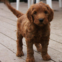 Australian Labradoodle Puppies For Sale Red Labradoodle